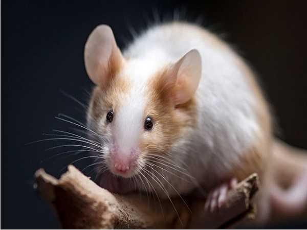Mơ thấy chuột nên đánh số lô đề nào?