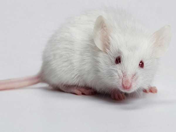 Điềm báo trong giấc mơ thấy chuột