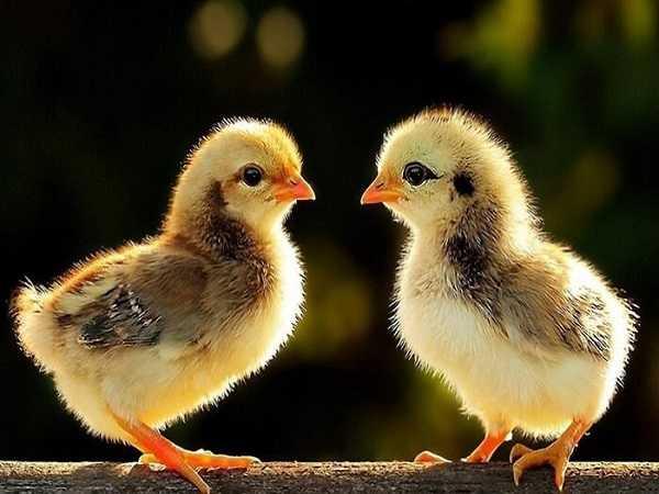 Mơ thấy gà con nên đánh cặp số nào?