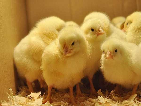Điềm báo trong giấc mơ thấy gà con
