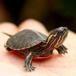 Mơ thấy rùa đánh con gì, có phải điềm báo cát mộng?