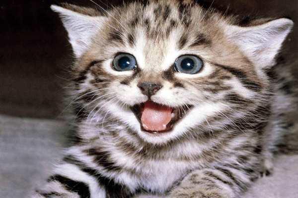 Mèo kêu là điềm báo gì ? Mèo lạ đến nhà có phải điềm báo xấu ?
