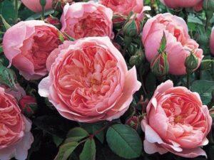 Nằm mơ thấy hoa hồng có ý nghĩa gì điềm báo gì đặc biệt