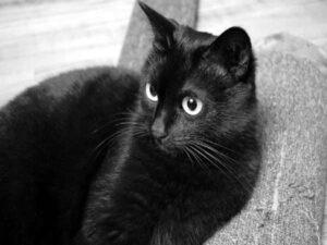 Ngủ mơ thấy mèo đen là lô đề số mấy ? Mang điềm báo gì ?